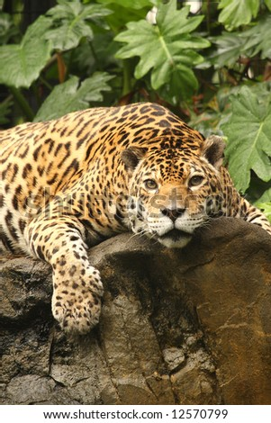 Photograph of a Jaguar (panthera onca) - stock photo