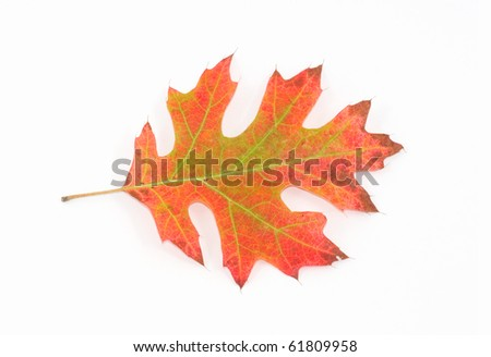 Photograph of a leaf of a Red Oak Tree during the autumn season, changing into a vibrant mix of red, oranges, browns and yellows.  Isolated against a white background. - stock photo