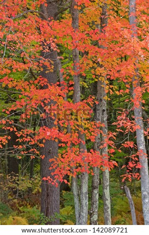 Photograph of a northwoods autumn forest strikingly beautiful with the flaming red of the sugar maples and the lush green of surrounding vegetation. - stock photo
