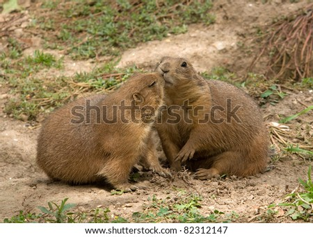 Photograph pair blacktailed prairie dogs greeting stock photo photograph of a pair of black tailed prairie dogs greeting each other with a kiss m4hsunfo