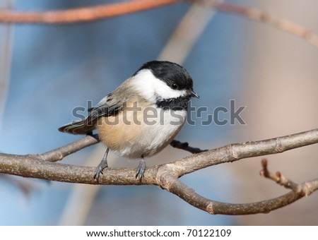 Photograph of a perky Black-capped Chickadee, Poecile atricapillus, perched on a leafless branch in a winter midwestern garden.