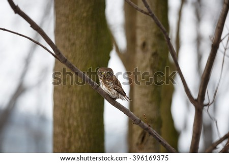 Photograph of a pygmy owl perched in a tree staring with large yellow eyes. Glaucidium passerinum. - stock photo