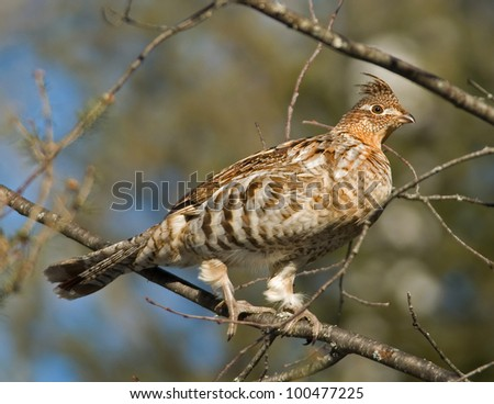 Photograph of a ruffed grouse perched on the branch of a tree in an early spring midwestern woodland. - stock photo