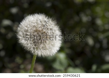 Photograph of a soft dandelion in a countryside outdoors. Stock photography.