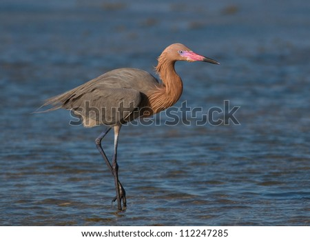 Photograph of a stately and beautiful Reddish Egret feeding in the deep blue shallows waters of a gulf coastal marsh. - stock photo