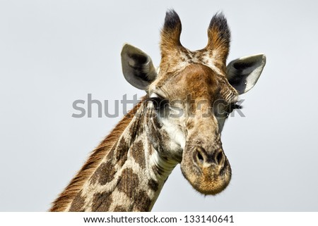 photograph of a tall inquisitive giraffe watching from above