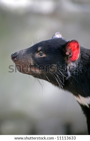 Photograph of a Tasmanian Devil, Tasmania, Australia - stock photo