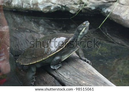 Photograph of a Turtle sitting on a log in a pond. - stock photo