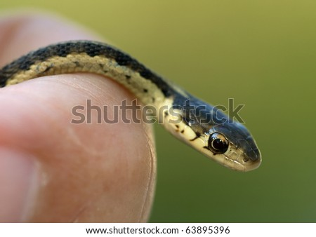 Photograph of a very young Garter Snake in a persons hand, verging on cuteness due to its small size and curious look. - stock photo