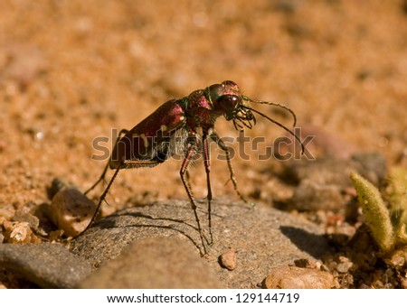 Photograph of a vibrant colored Tiger Beetle with a brilliant purple shine, found hunting on a sandy road in the Wisconsin northwoods. - stock photo