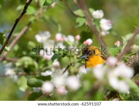 Photograph of a young male Baltimore Oriole peering out from amidst the blossoms and leaves of a spring time apple tree. - stock photo