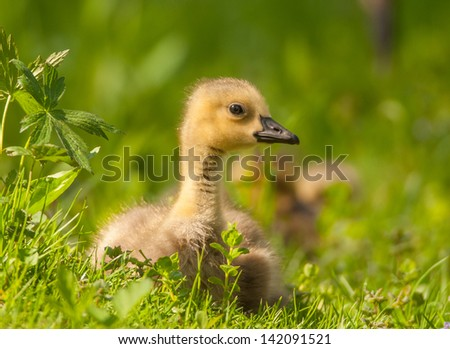 Photograph of an adorable Canada Goose gosling resting in a sunny meadow on a midwestern river bank. - stock photo