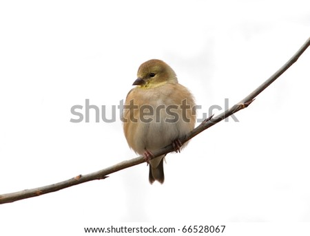 Photograph of an American Goldfinch, Carduelis tristis, in winter plumage, perched on a branch with a pure white background.