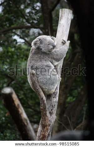 Photograph of an Australian Koala sitting in a tree branch. - stock photo
