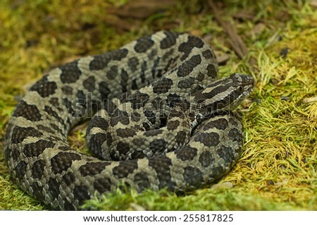Photograph of an Eastern Massasauga rattlesnake coiled up on a bed of moss. - stock photo