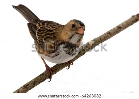 Photograph of an immature Harris's Sparrow in winter, perched on a branch and standing out nicely against a white background. - stock photo
