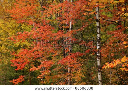 Photograph of the brilliant colors of an autumn northwoods wilderness with the colors of birch and maple flashing their striking oranges and yellows. - stock photo