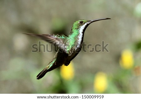 Photograph of the hummingbird possing while hovering at Iguazu waterfall - stock photo