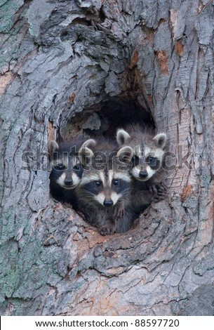 Photograph of three sibling raccoons poking their head out of a hole in a large tree looking at the photographer. - stock photo