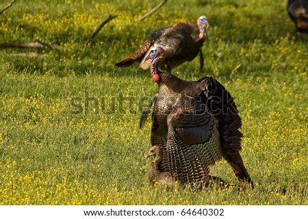 Photograph of Wild Turkeys courting, displaying and mating in a beautiful spring meadow in the Appalachian Mountains. - stock photo