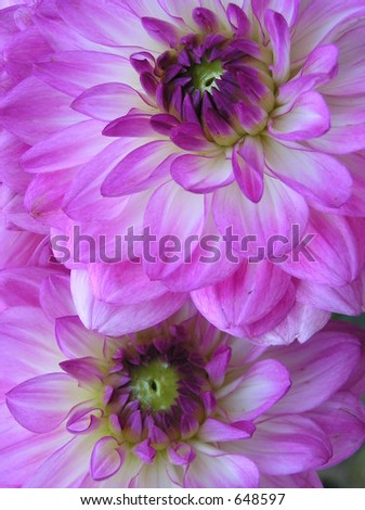 photograph ot the hearts of two beautiful purple dahlia flowers
