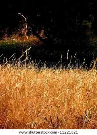 Photograph taken featuring golden grass at Willunga Nature Reserve (South Australia). - stock photo