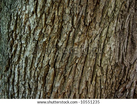 Photograph taken featuring the rough tree bark of a Norfolk Island Pine Tree (North Adelaide, Australia). - stock photo