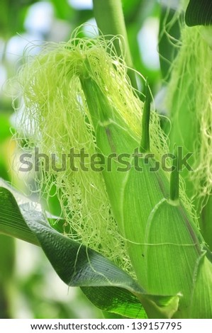 photographed by a close up ears mature corn in Thailand - stock photo