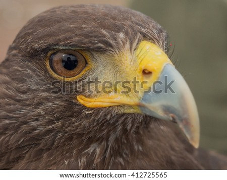 Photographer in the eye of a Harris's hawk