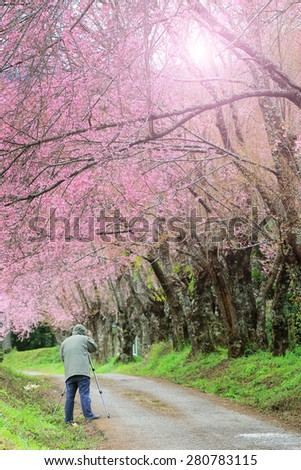 Photographer taking photo under pink cherry blossom trees