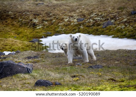 Photographers risk. Polar bear (ice bear, Ursus maritimus) attacked photographer. Female never seen people and protects cub. Franz-Joseph Land, Northbrook Isl