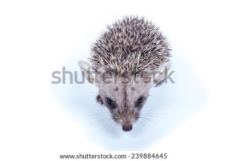 Photography little prickly hedgehog isolated on white background - stock photo