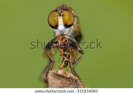 Photography macro of Robber fly.  - stock photo