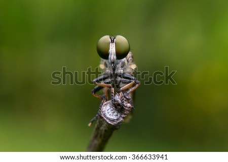 Photography Macro of Robber Fly Green Eyes Shoot Face To Face.  - stock photo