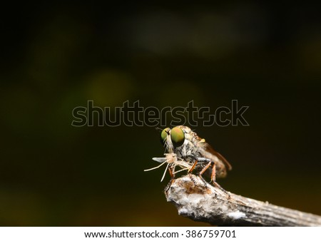 Photography macro of Robber Fly with prey.  - stock photo