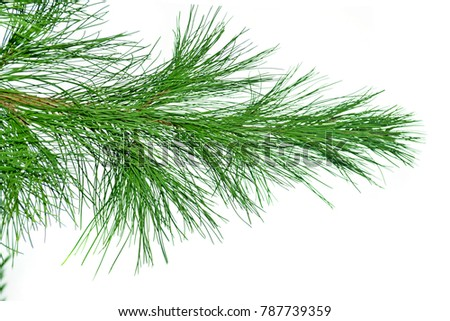 photography with scene of the branch of the conifer on white isolation background