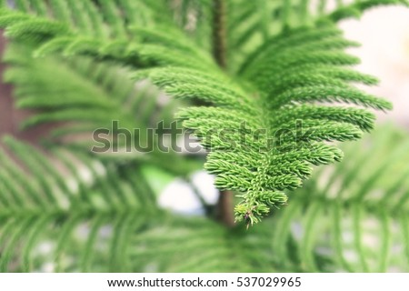 Photography Xmas greenery tree branch. Natural spruce tree. Fir tree soft and blurry background. Daylight. macro view, soft focus.