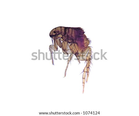 Photomicrograph of the common flea (Ctenocephalides), a carrier of disease. 14MP camera and microscope. Isolated. - stock photo