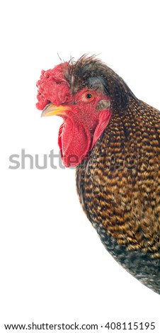 Photos cock in various positions. Isolated. A series of photos. - stock photo