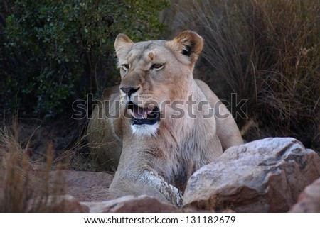 Photos of Africa, Female Lion