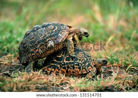 Photos of Africa, Leopard Tortoise in green grass mating