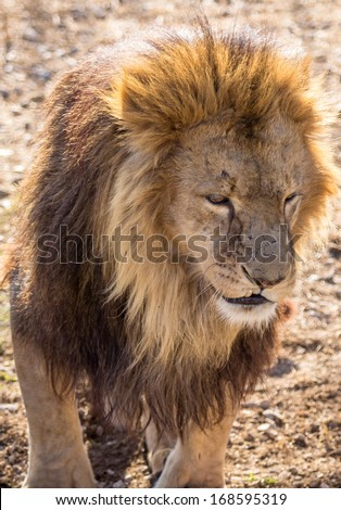 Photos of Africa,male Lion