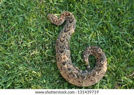 Photos of Africa, Snake Puff adder from top - stock photo