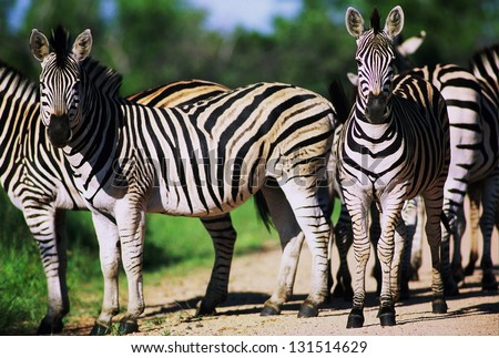 Photos of Africa, Zebra stand in road - stock photo