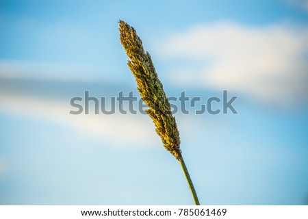 Photos of millet and sky