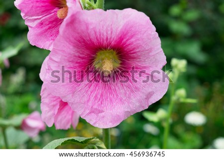 Photos of pink mallow flower in the garden, closeup - stock photo