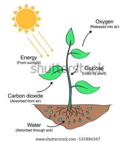 Photosynthesis process labelled illustration stock illustration photosynthesis process labelled illustration ccuart Gallery