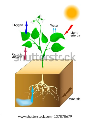 Photosynthesis. Schematic of photosynthesis in plants. - stock photo