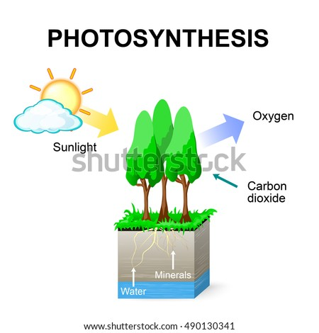 Photosynthesis Schematic Photosynthesis Plants Stock Illustration