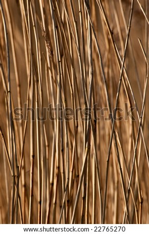 Phragmites australis, the common reed - stock photo